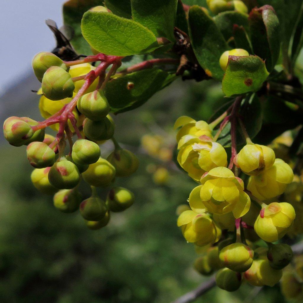 Berberis vulgaris (Barberry)