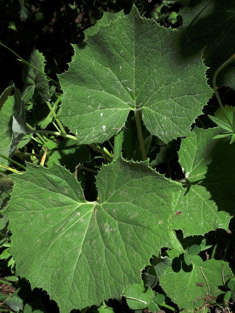 Petasites albus (White Butterbur)