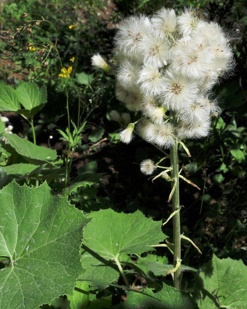 Petasites albus (Whitte Butterbur)