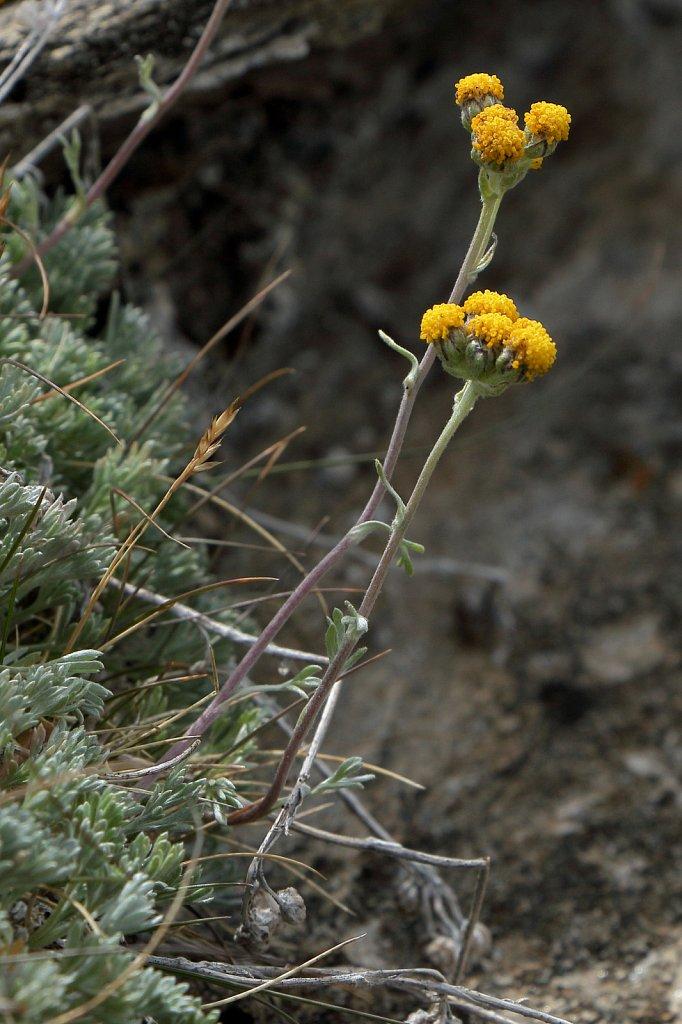 Artemisia glacialis (Glacial Mugwort)