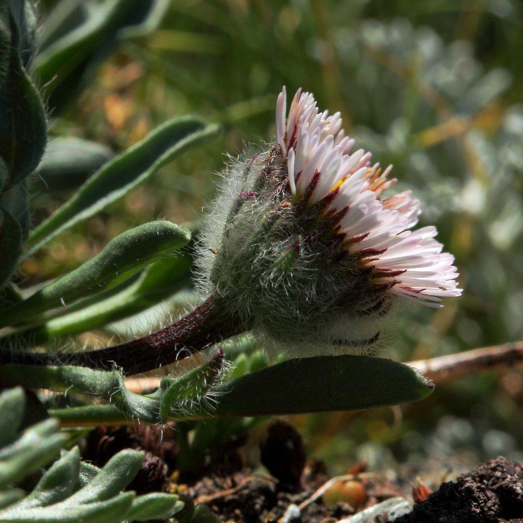 Erigeron uniflorus (One-flowered Fleabane)