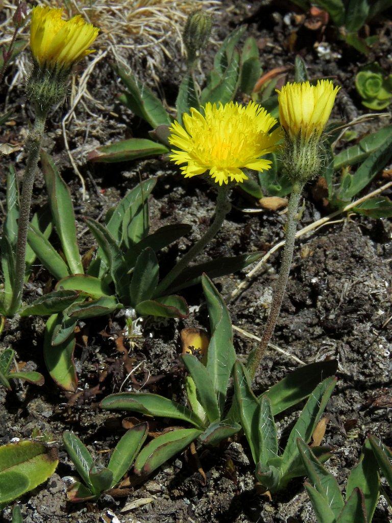 Hieracium angustifolium (Glacial Hawkweed)