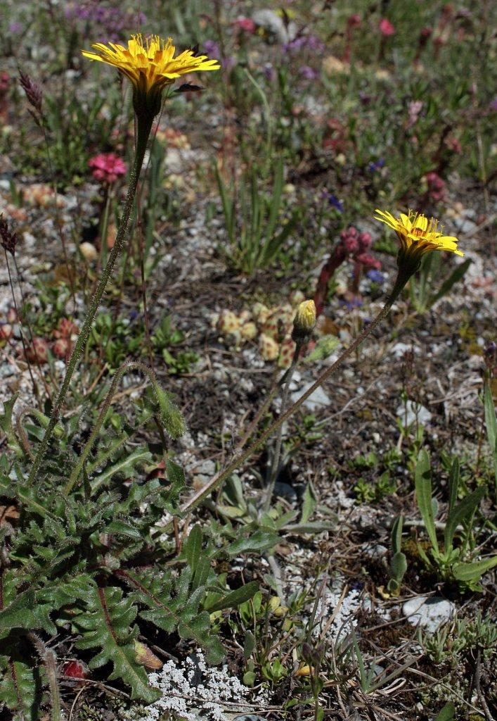 Leontodon hispidus ssp pseudocrispus (Rough Hawkbit)