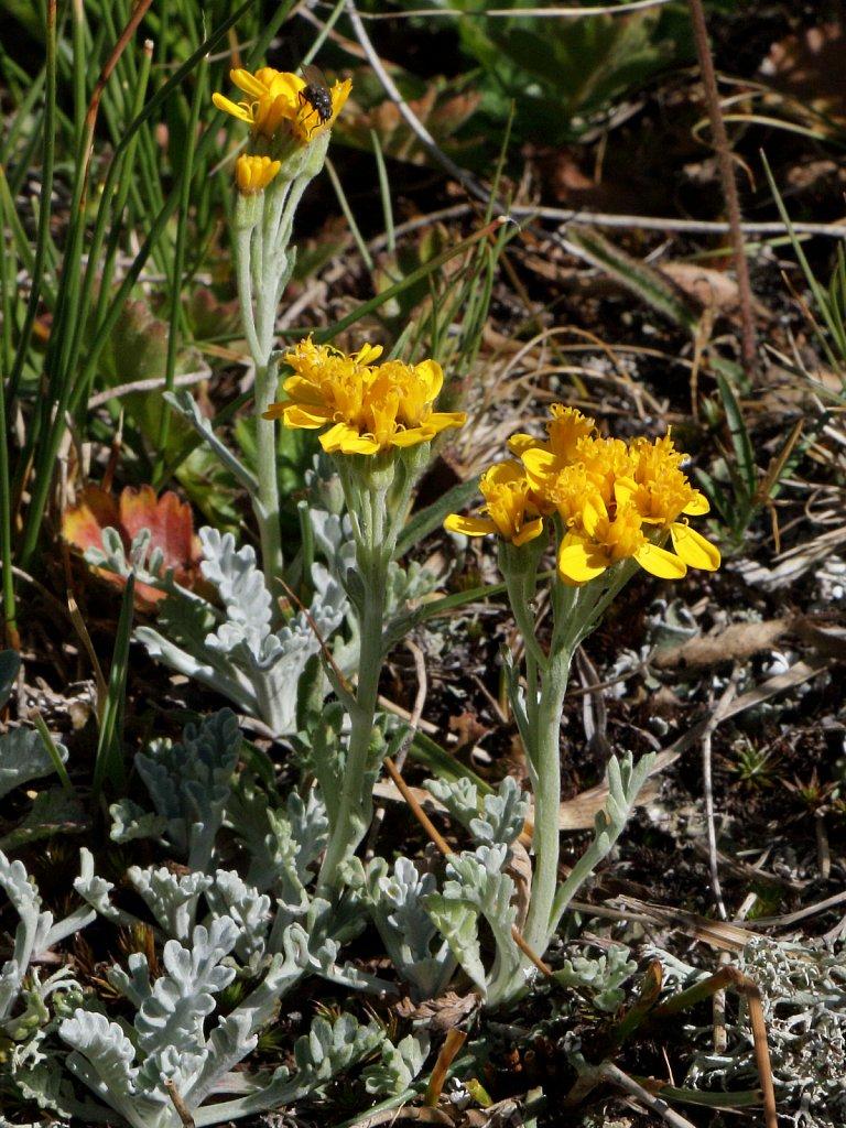 Senecio incanus s.s. (Hoary Groundsel)