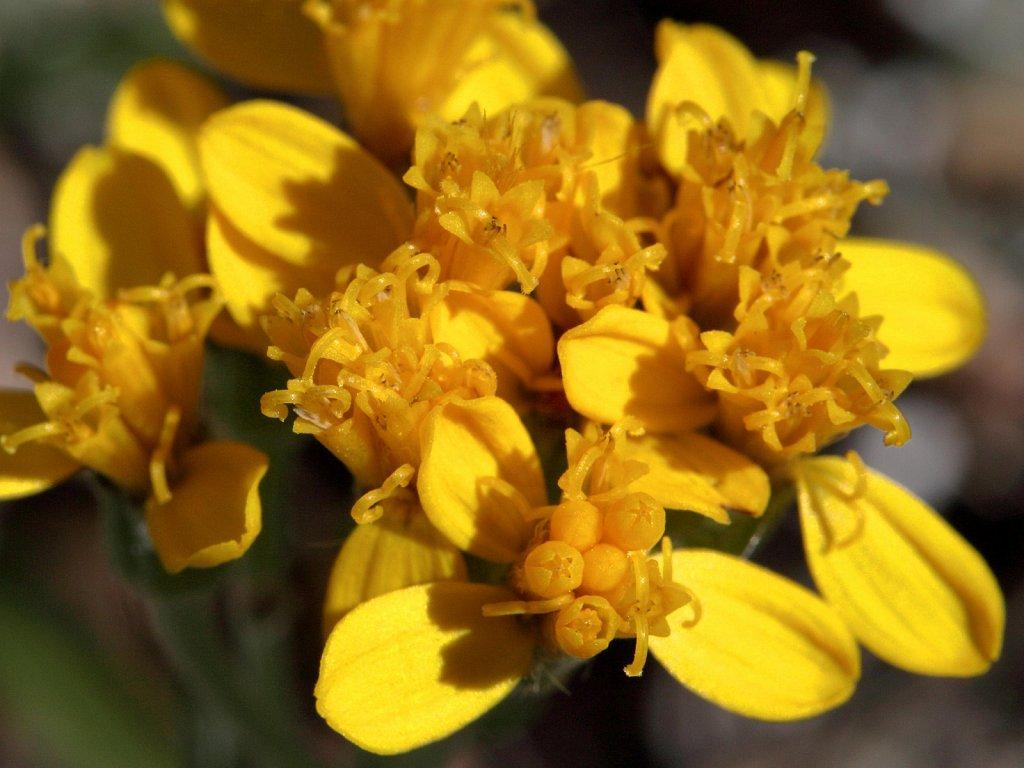 Asteraceae (Daisies)