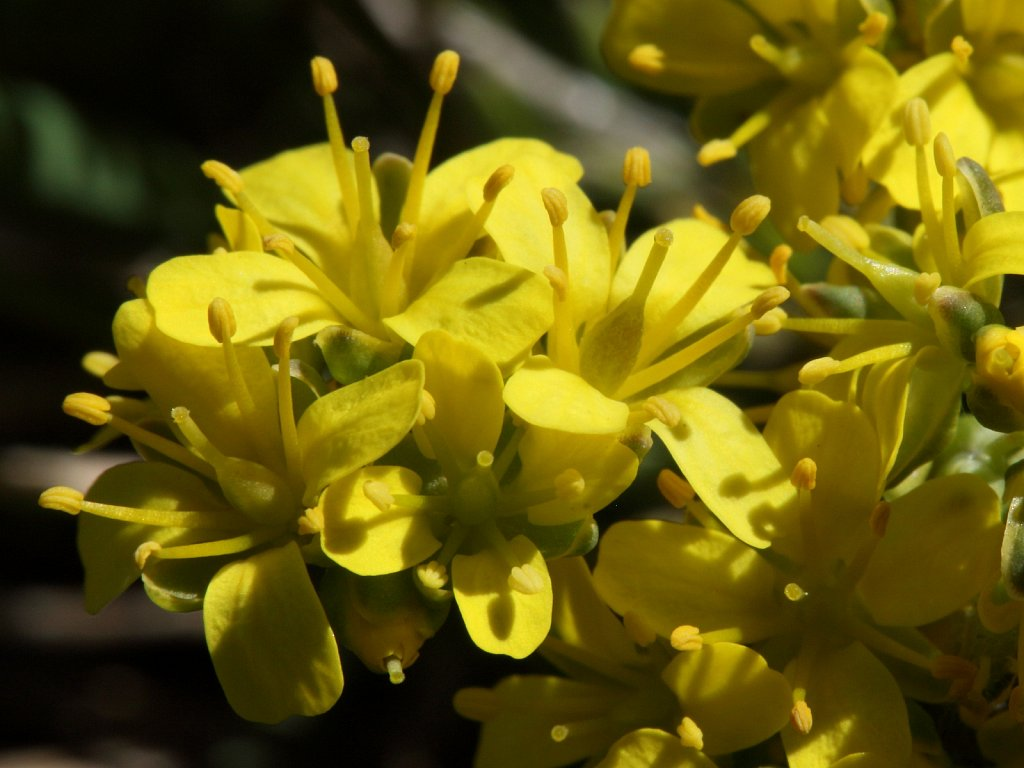 Draba aizoides (Yellow Whitlowgrass)