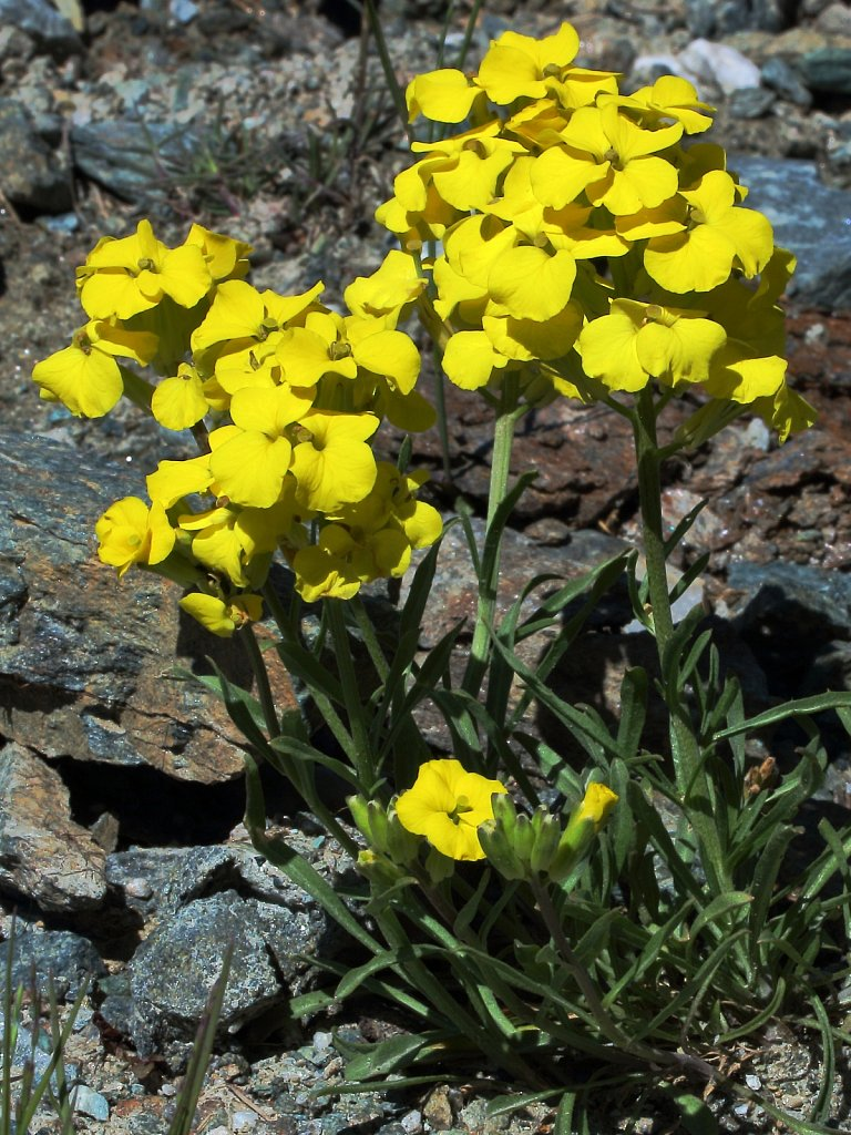 Erysimum rhaeticum (Swiss Treacle Mustard)