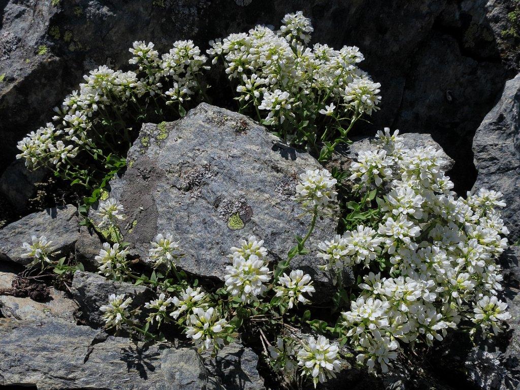 Thlaspi sylvium (Alpine Penny-cress)
