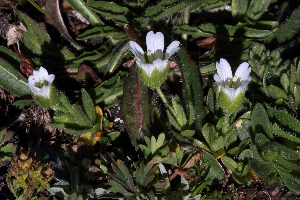 Cerastium pedunculatum (Pedunculate Mouse-ear)