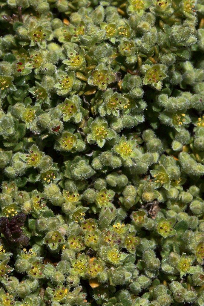 Herniaria alpina (Alpine Rupturewort)