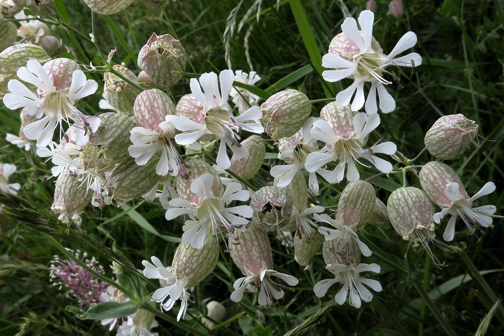 Silene vulgaris (Bladder Campion)