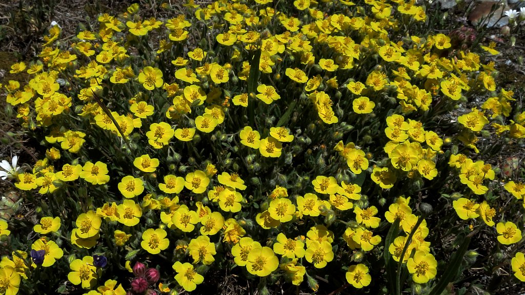 Helianthemum alpestre (Alpine Rock-rose)