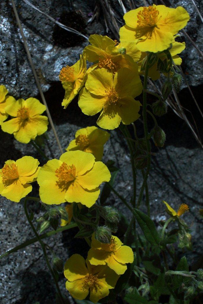 Helianthemum nummularium ssp obscurum (Sombre Rock-rose)