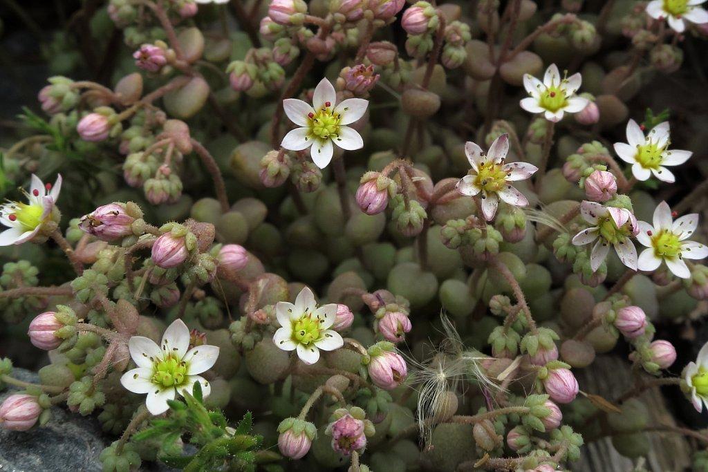 Sedum dasyphyllum (Thick-leaved Stonerop)