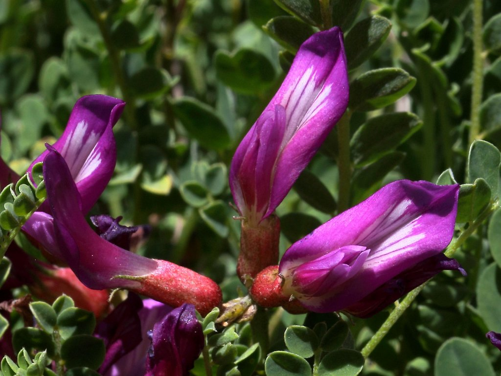 Astragalus monspessulanus (Montpellier Milk-vetch)