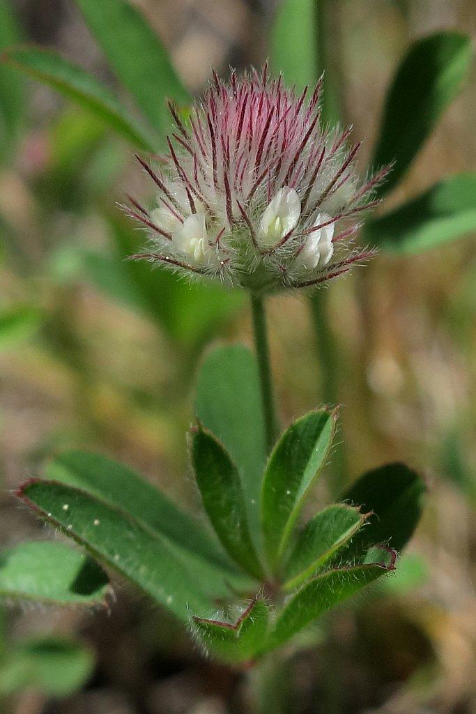 Trifolium arvense (Hare's-foot Clover)