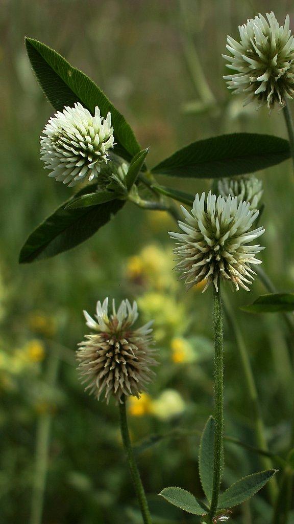 Trifolium montanum (Mountain Clover)