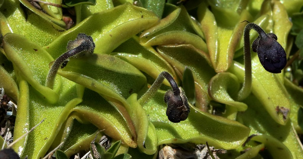 Pinguicula leptoceras (Hairy-spurred Butterwort)