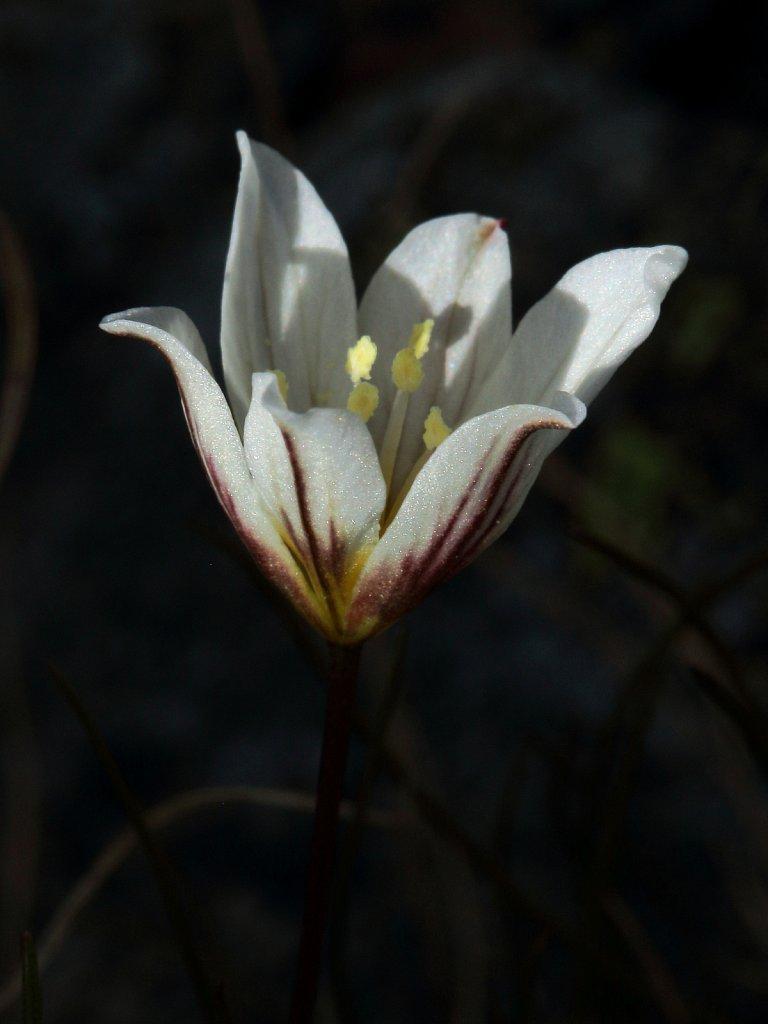 Lloydia serotina (Snowdon Lily)