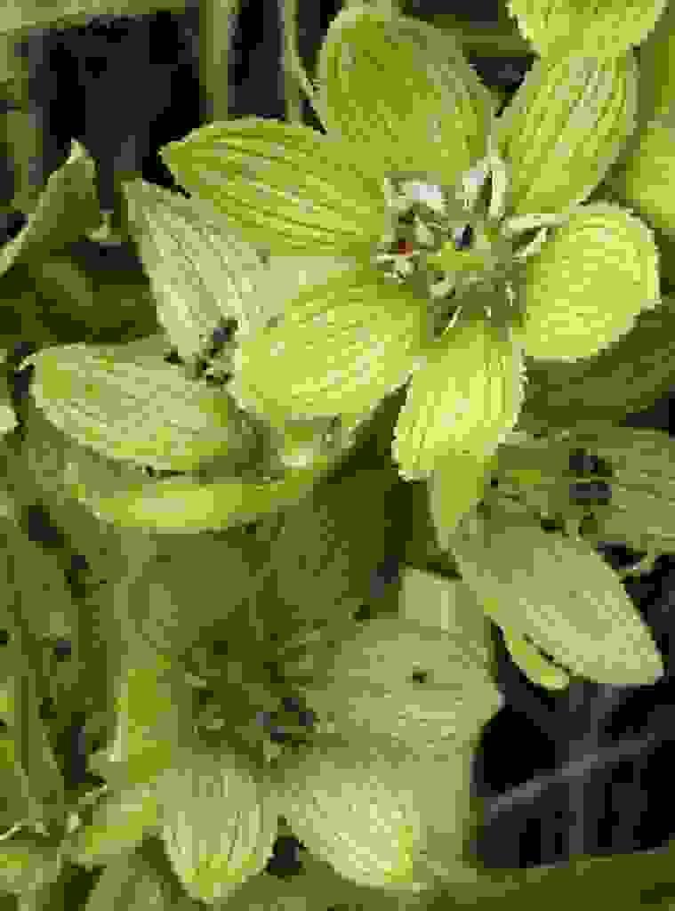 Veratrum album ssp lobelianum (White False-helleborine)