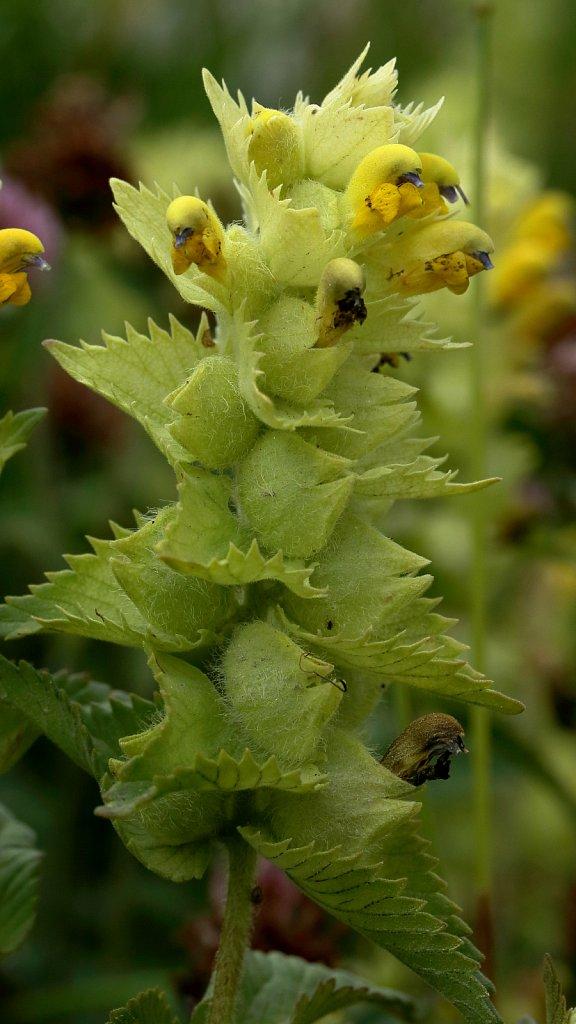Rhinanthus alectorolophus (Hairy Yellow-rattle)