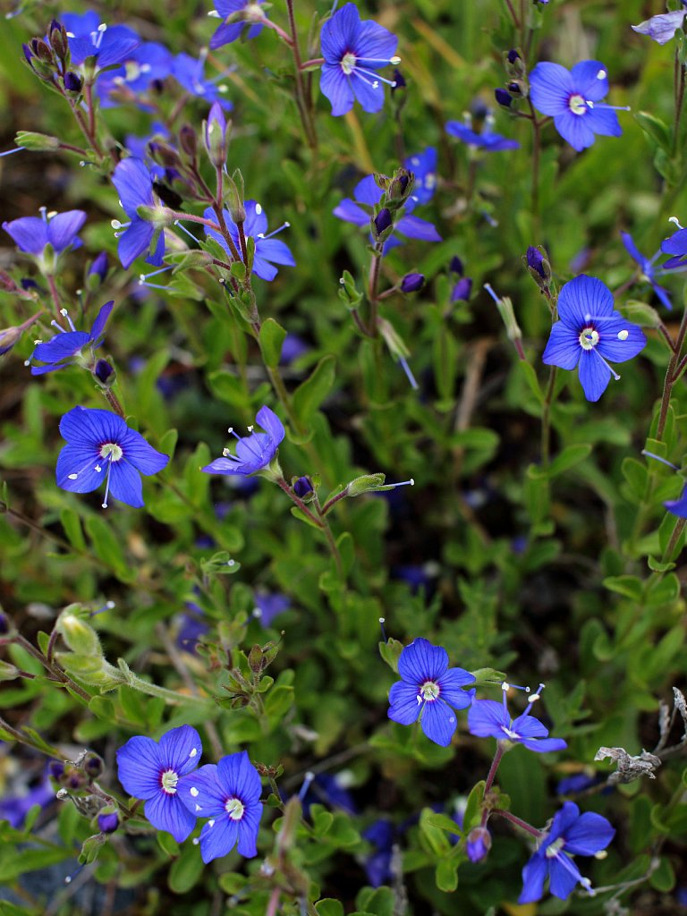 Veronica fruticans (Rock Speedwell)