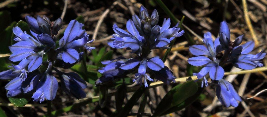 Polygala alpestris (Mountain Milkwort)