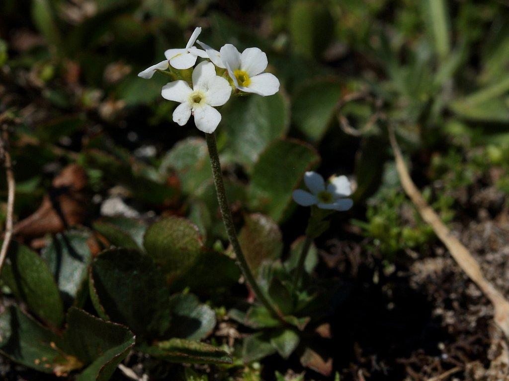 Androsace obtusifolia (Obtuse-leaved Rock-jasmine)