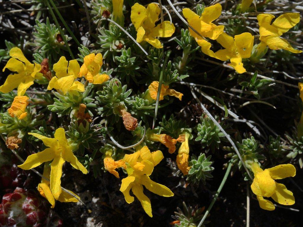 Androsace vitaliana (Yellow Rock-jasmine)
