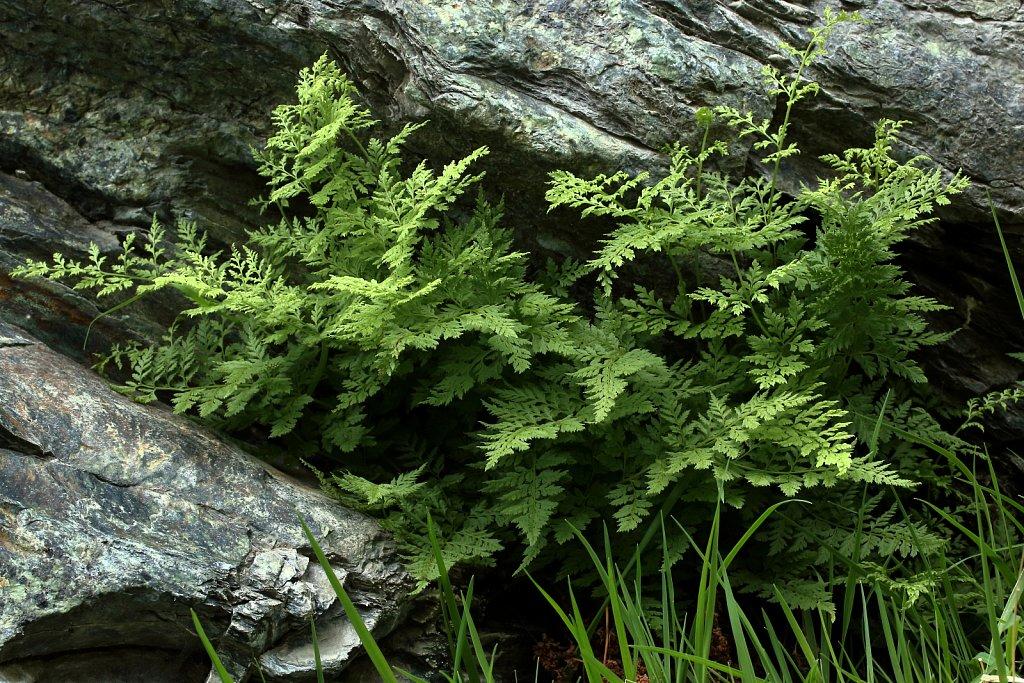Cystopteris fragilis (Brittle Bladder-fern)