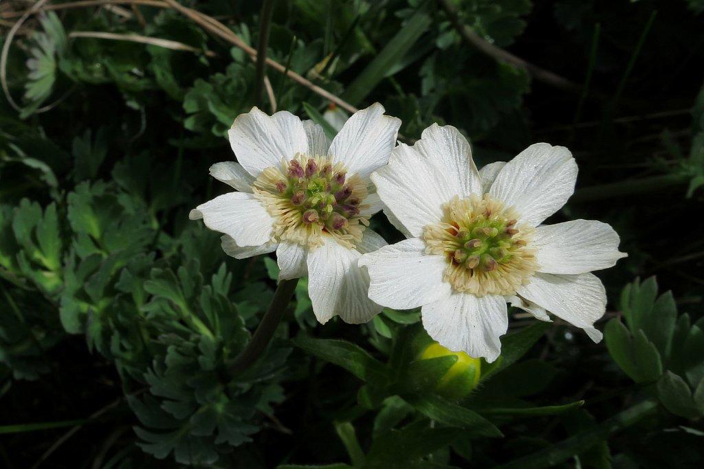 Callianthemum coriandrifolium (Coriander-leaved Callianthemum)