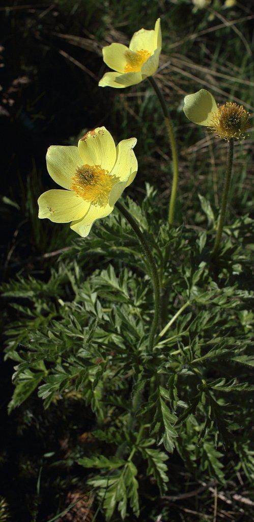 Pulsatilla alpina ssp apiifolia (Yellow Alpine Pasqueflower)