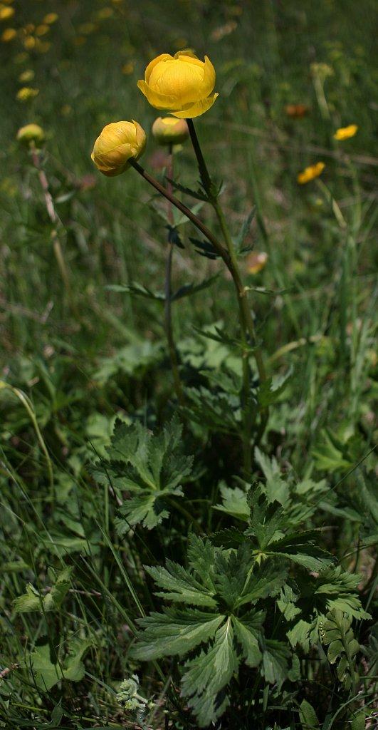 Trollius europaeus (Globeflower)