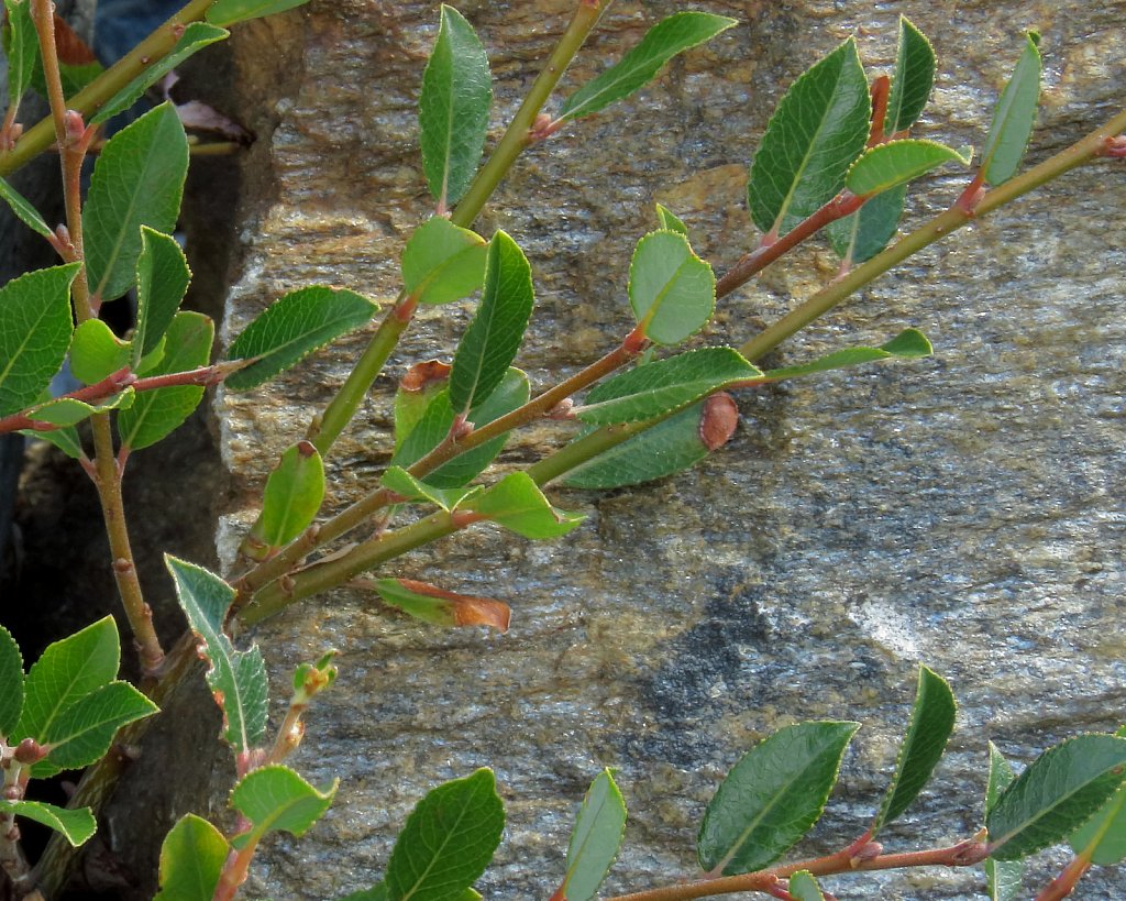 Salix foedita (Stinking Willow)