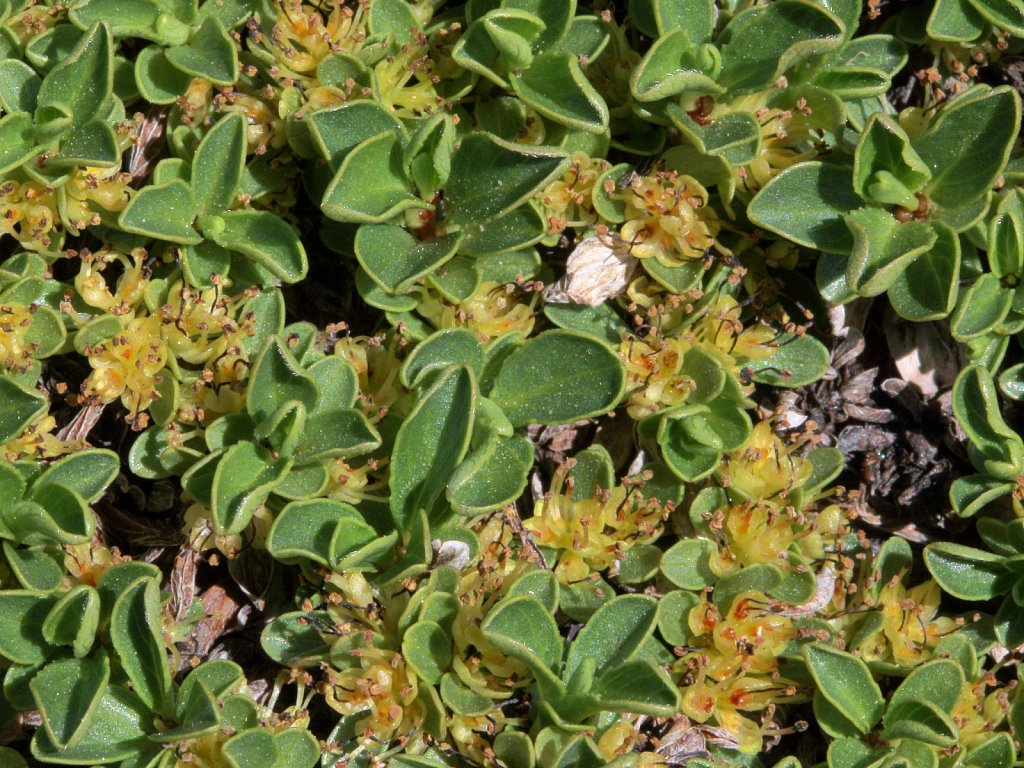 Salix serpillifolia (Thyme-leaved Willow)
