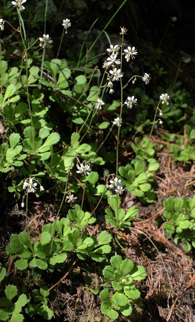 Saxifraga cuneifolia (Spoon-leaved Saxifrage)