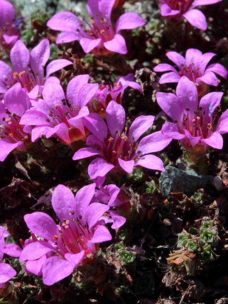 Saxifraga oppositifolia (Purple Saxifrage)