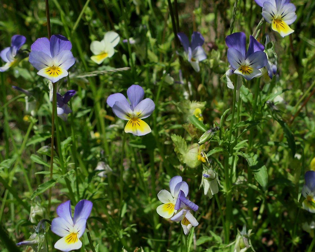 Viola tricolor (Wild Pansy)