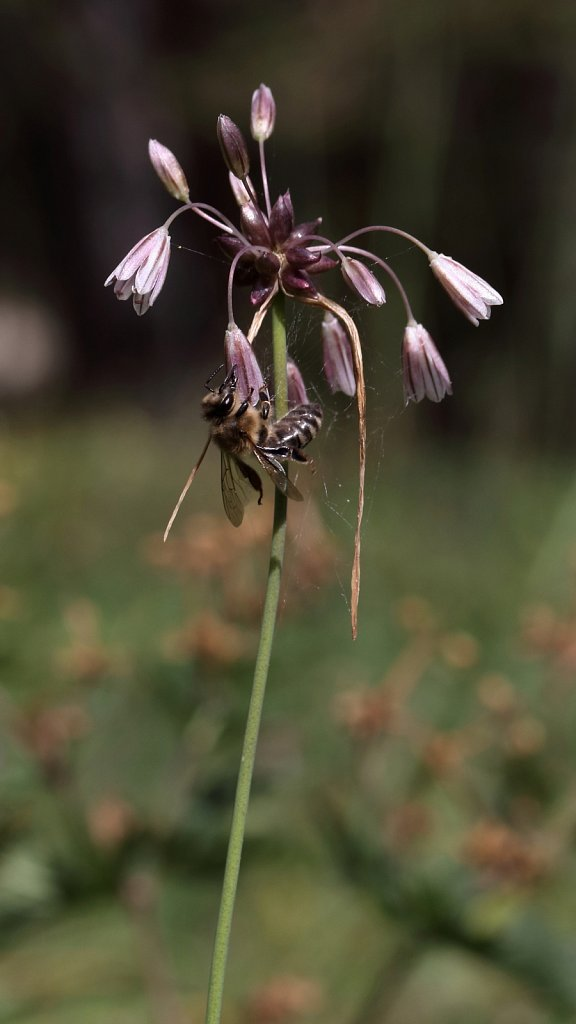 Allium oleracium (Field Garlic)