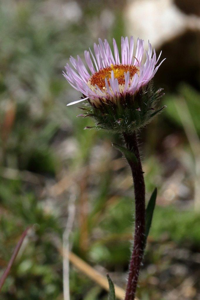 Erigeron alpinus (Alpine Fleabane)
