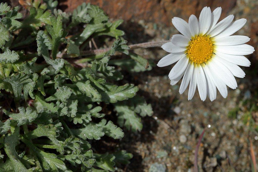 Leucanthemopsis alpina ssp minima (Dwarf Alpine Marguerite)