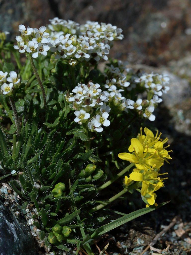 Pritzelago alpina (Alpine Hutchinsia) & Draba aizoides (Yellow Whitlowgrass)