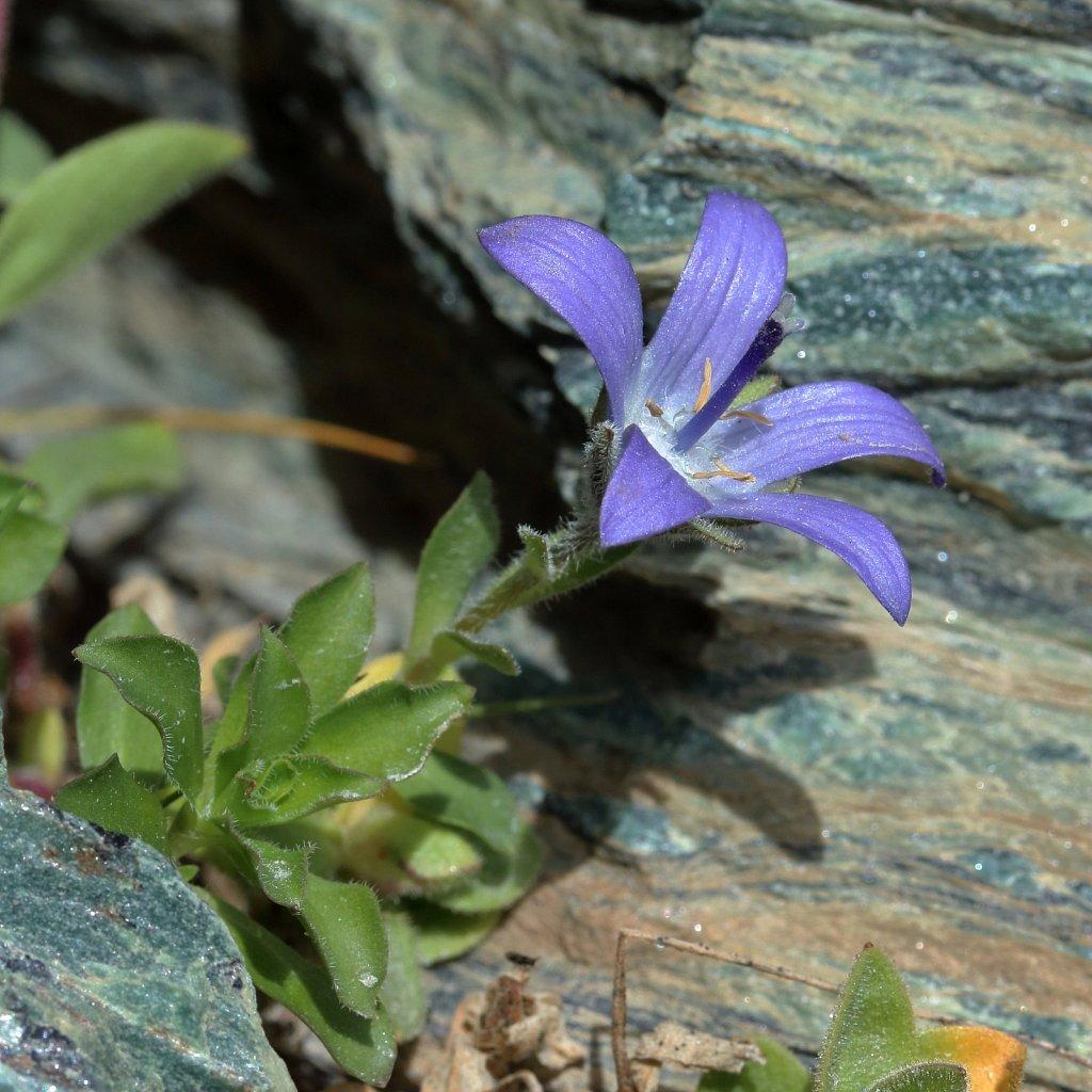 Campanula cenisia (Mount Cenis Bellflower)