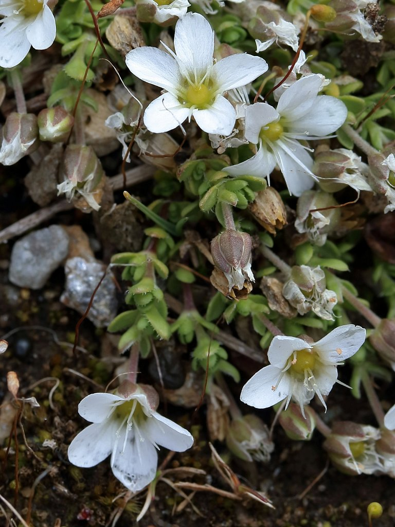 Arenaria ciliata (Ciliate-leaved Sandwort)