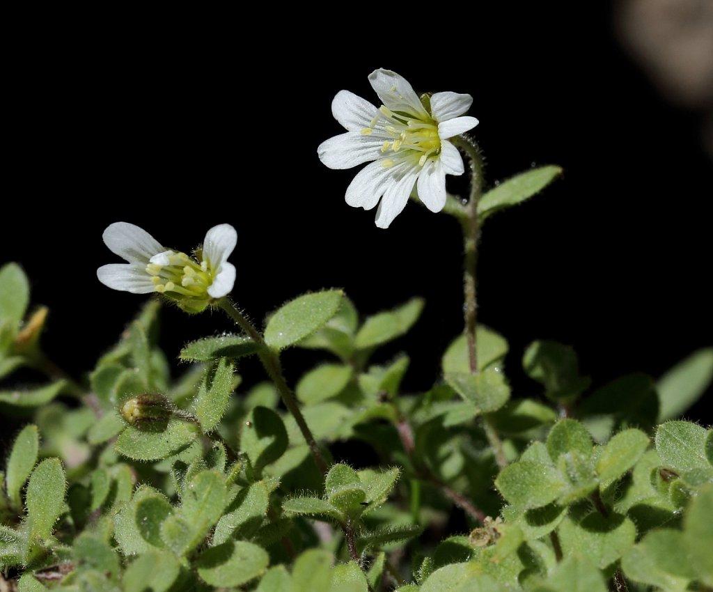 Cerastium alpinum (Alpine Mouse-ear)