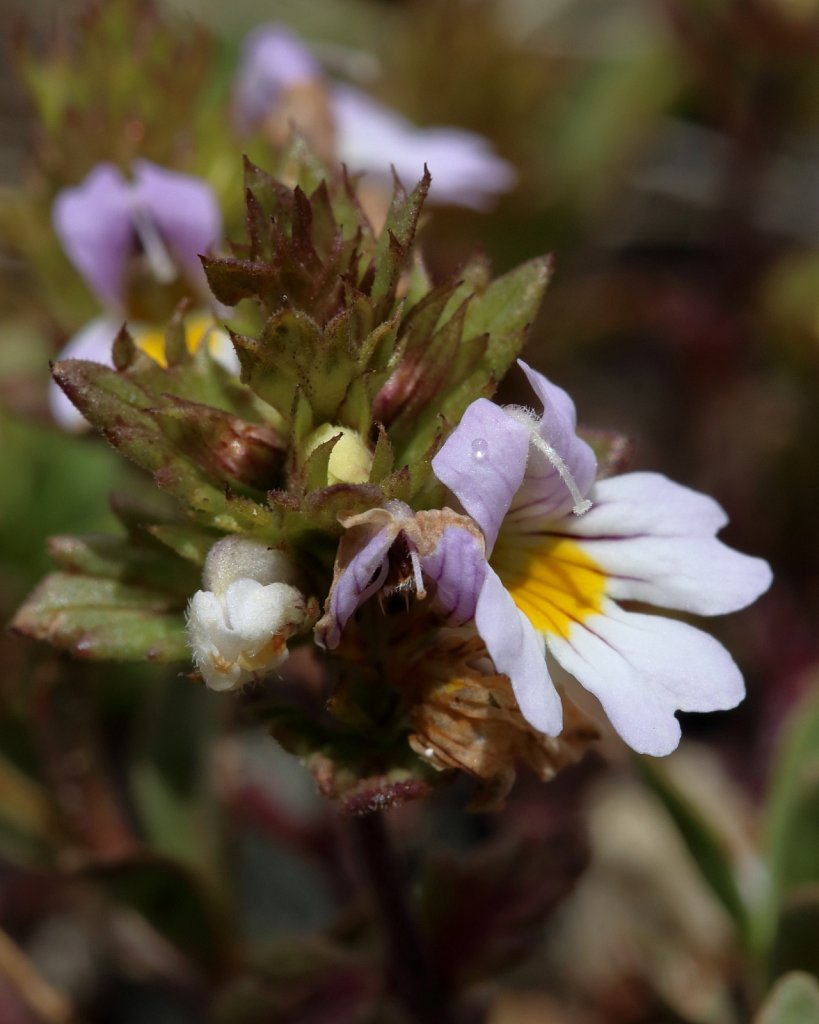 Euphrasia alpina (Alpine Eyebright)