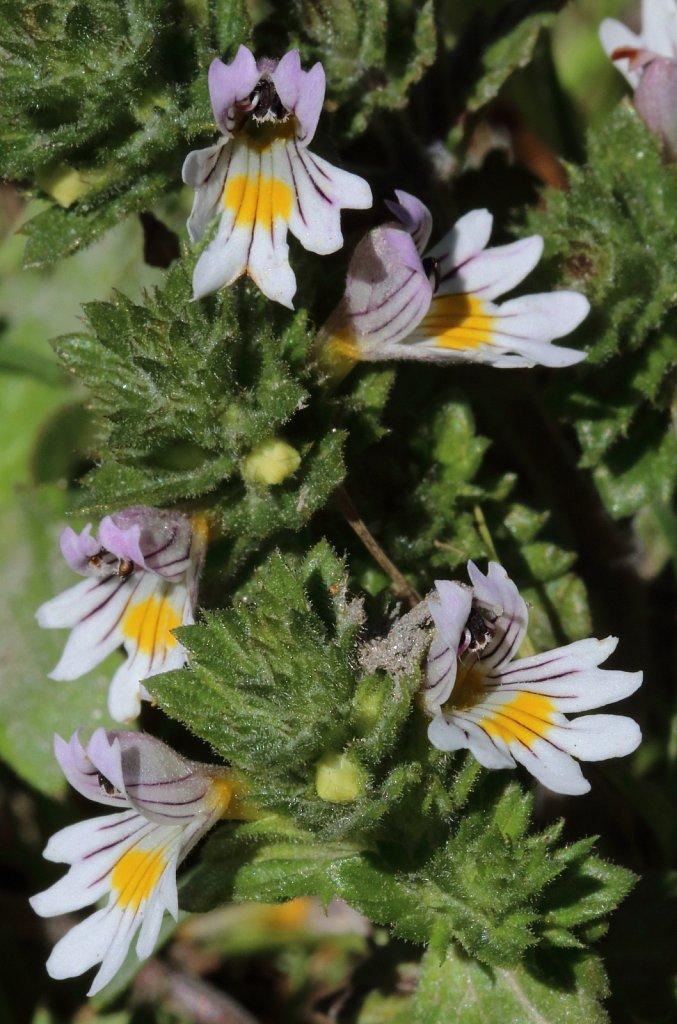 Euphrasia rostkoviana (Rostkov's Eyebright)
