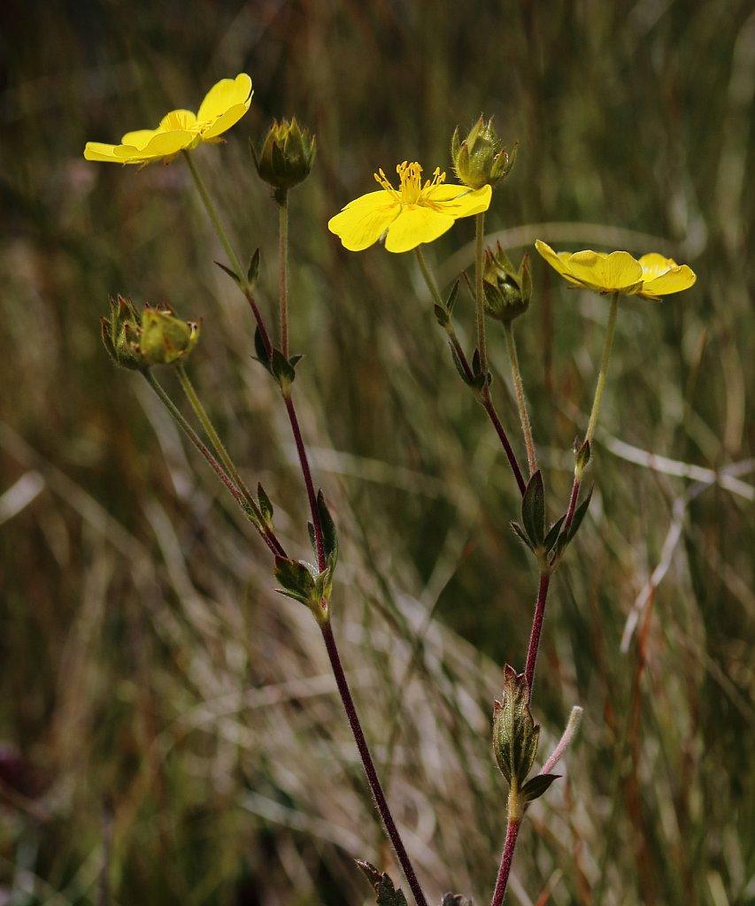 Potentilla grandiflora (Large-flowered Cinquefoil)