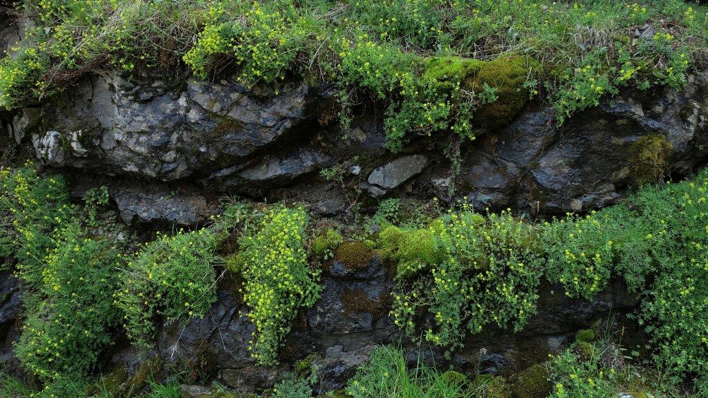 Saxifraga aizoides (Yellow Saxifrage)