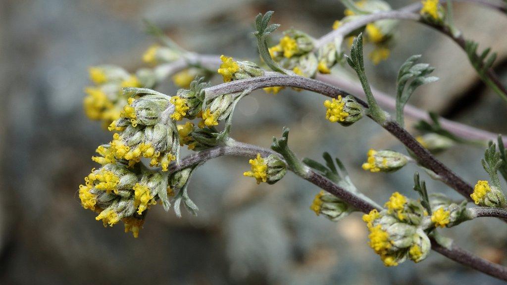 Artemisia umbelliformis (Yellow Genipi)